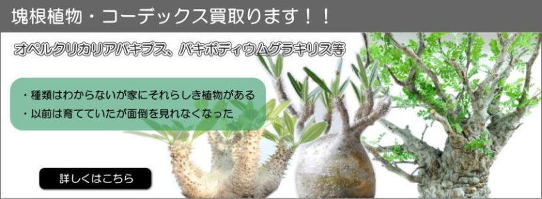 グラキリス,パキプス,コーデックス,塊根植物,買取